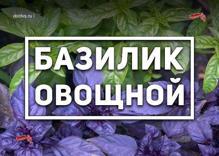 Базилик – выращивание из семян в открытом грунте и как рассаду