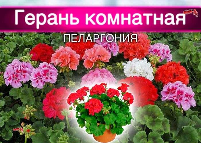 герань