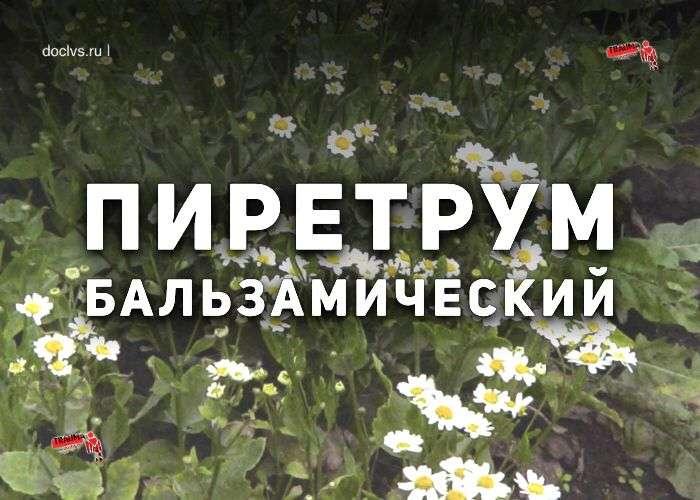 пиретрум