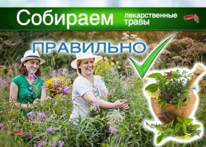 Правила сбора лекарственных растений