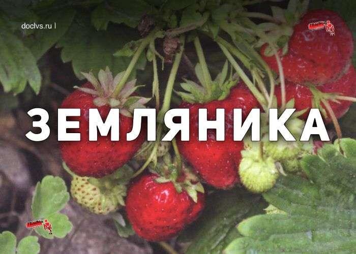 Земляника: агротехника
