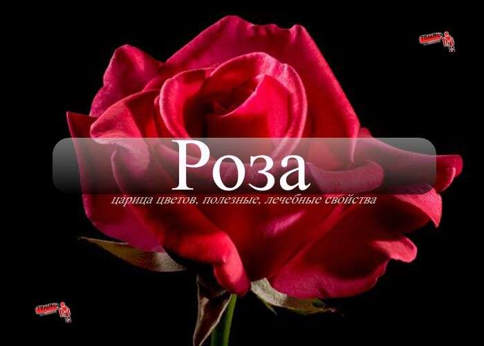 роза для красоты