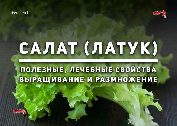 салат посевной латук