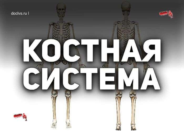 костная система