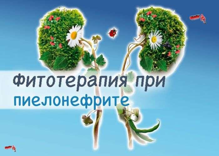 фитотерапия пиелонефрита