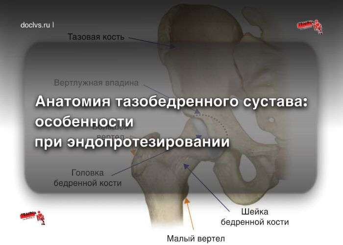 Анатомия тазобедренного сустава: особенности строения сустава при эндопротезировании